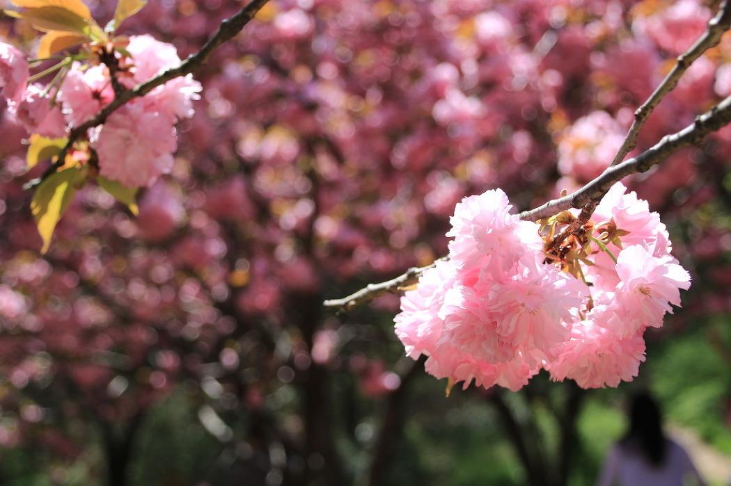 왕겹벚꽃과 철쭉이 만발한 핑크빛천국 전주 완산공원에 봄소풍
