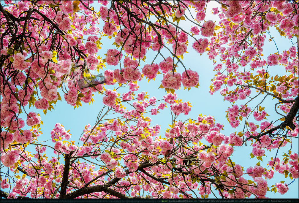 대구 월곡역사공원의 겹벚꽃