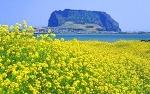 제주유채꽃축제와 함께 한림공원 튤립축제로 제주도 여행계획 세우세요