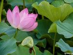 부여 궁남지 연꽃