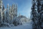 [알래스카 트레킹] 가문비 나무 숲길 코스 걷기 - Spruce Trees Trails in Fairbanks, Alaska (Tours) [알래스카 신행] [알래스카 허니문]