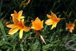 [야생화] 7년 전, 거제 해금강 가는 길에서 만난 원추리 꽃/중국 '시경' <위풍 씩씩한 그대>에 나오는 시, 원추리꽃/원추리꽃 꽃말, 망우초, 기다리는 마음/죽풍원의 행복찾기프로젝트