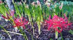 [함양여행] 함양산삼축제와 물레방아골축제도 구경하면서, 덤으로 상림공원을 붉게 물들인 꽃무릇의 장관을 볼 수 있습니다 /함양여행코스/함양 상림 숲/함양 상림공원 꽃무릇/함양 가볼만한..