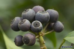 송악(松萼) 열매
