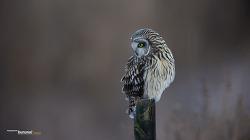 쇠부엉이 때론 외롭고 웃고 시크하고 앙증맞은 표정 Short-eared Owl