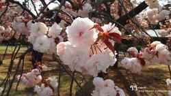 어느날 오후 그리고 봄 ::신주쿠교엔(新宿御苑)