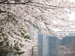 봄 내음 가득~ 삼성디스플레이 가족들과 함께하는 벚꽃제