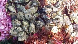 바다의 산삼 (산원초)