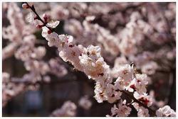 [3월, 흰색] 봄날을 간다-살구꽃