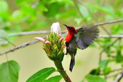 Crimson Sunbird