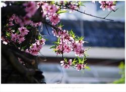 복사꽃(복숭아나무꽃) 연가 - 부산 가야