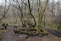 제주도 절물자연휴양림에서 본 연리목 사랑나무
