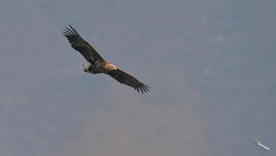 4K로 보는 한강 흰꼬리수리(White-tailed Eagles) 날샷과  패닝 착지전 샷