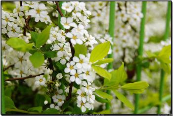 [a55] 2012.4.18 봉화산 벚꽃구경
