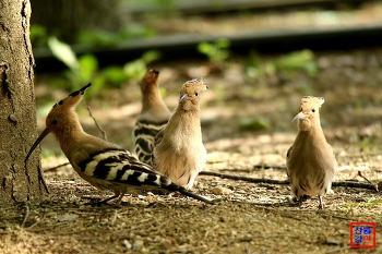여름철새 후투티의 아기새 독립 교육