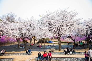 원미산진달래동산 꽃축제가 한창입니다. 벚꽃축제도 한창이구요.