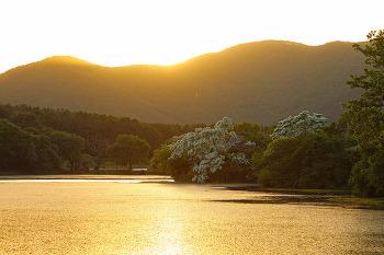 금빛 노을이 있어 이팝나무가 더 아름다운 위양못! (밀양여행/밀양명소)