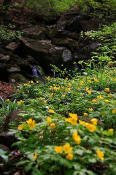 숲 속의 화원, 노란 피나물 군락