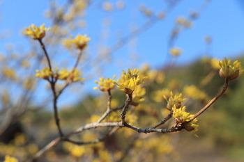 밀양여행/사명대사 생가지에서 만난 산수유꽃