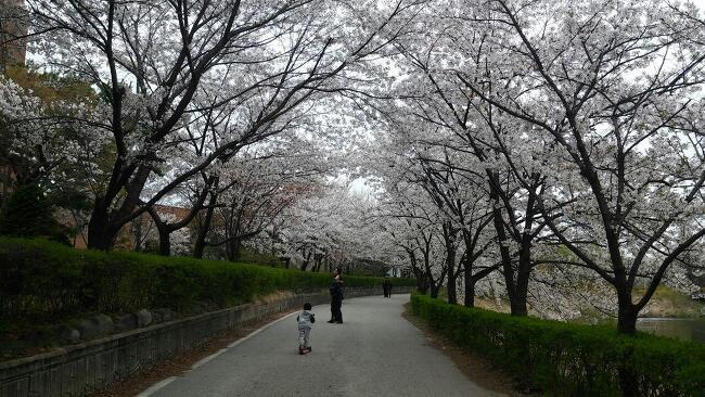 [활동소식] 벚꽃터널은 건너보셨나요?