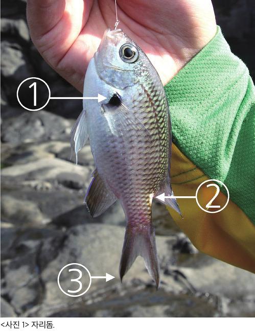 제주 자리돔, 너무 흔해서 미처 알아보지 못했던 보석같은 물고기