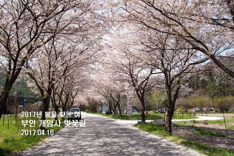 [군산-고창 여행] 부안 개암사 벚꽃길