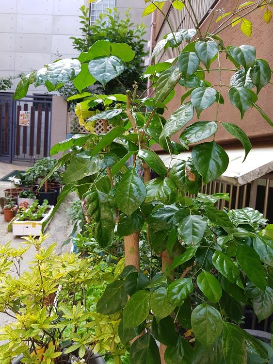 이나무 해피트리일까?녹보수일까? 꽃이핀 해피트리 VS 녹보수꽃?