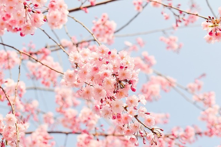 2017 서울 벚꽃 축제 제대로 즐기기 (석촌호수, 여의도, 라이프플러스 벚꽃 피크닉)
