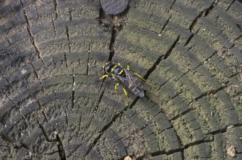 은주둥이벌과 황테감탕벌
