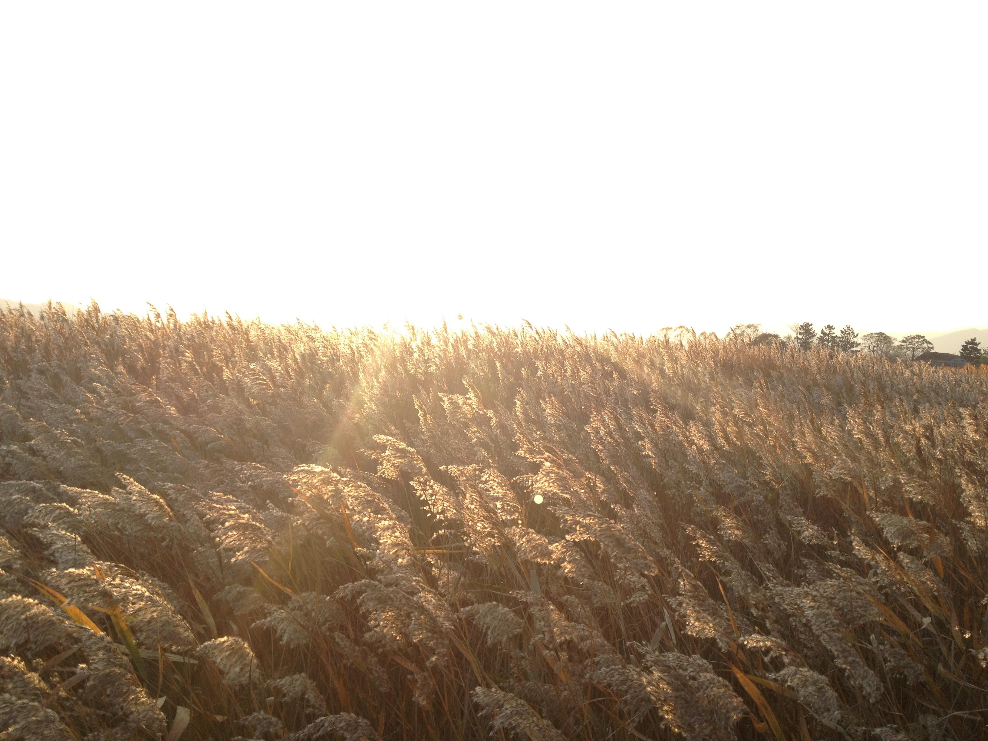 순천말 갈대밭