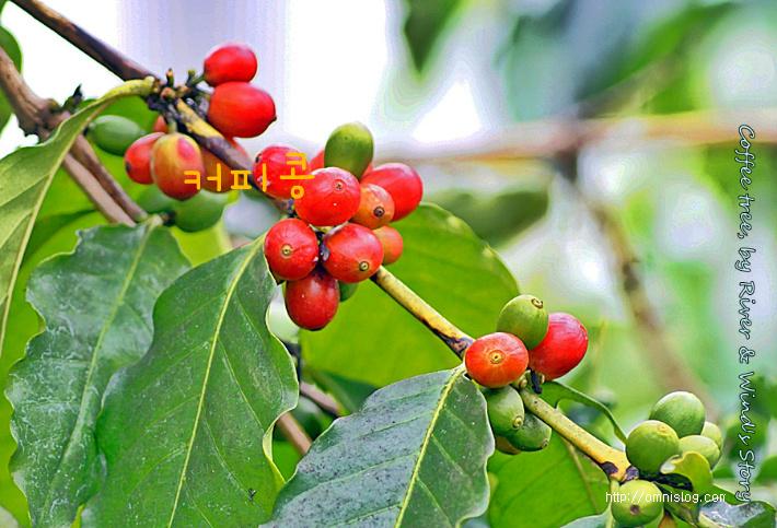 커피콩과 커피나무-커피체리(Coffee cherry)& CoffeeTree::OmnisLog