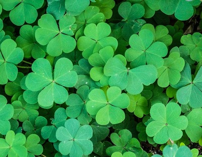 clover flower meaning