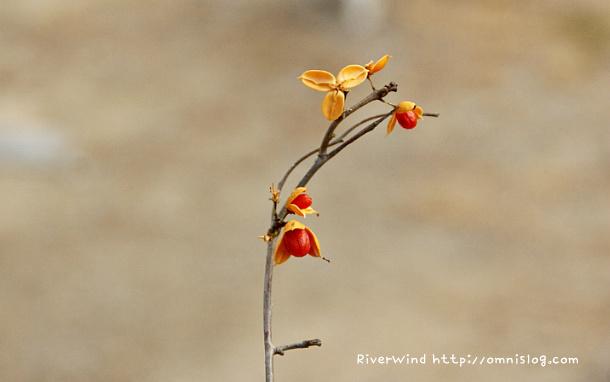 노박덩굴열매