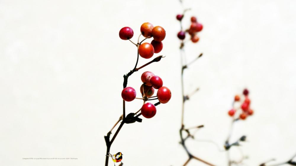 겨울열매 맹감나무열매