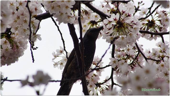 벚꽃 따 먹는 새 직박구리