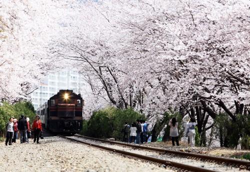 삼성물산 건설부문 봄꽃축제1