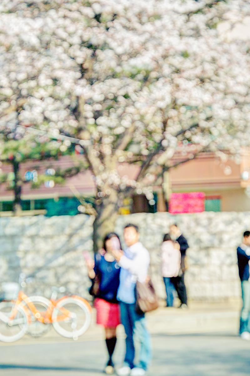 신사동 거리에 핀 벗꽃나무 앞에서 사람들이 셀카를 담고있다. -봄에 흔히 만나는 풍경-