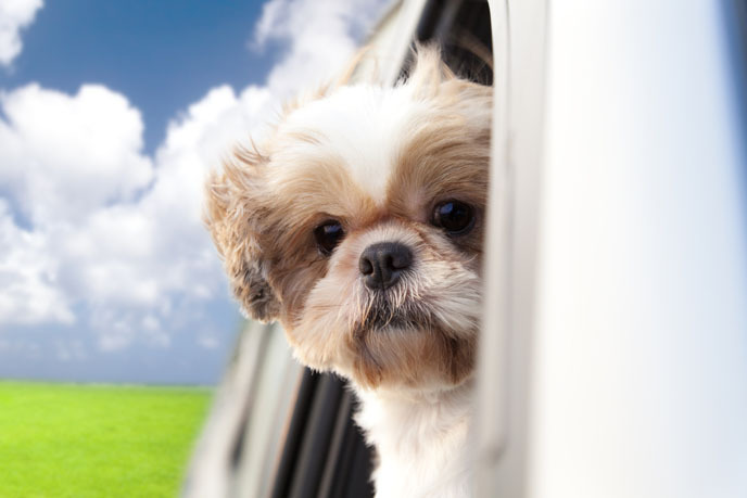 창밖으로 고개내민 강아지