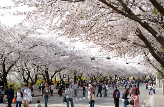 영등포 여의도 봄꽃축제 : 아름다운 봄꽃과 젊은 문화예술이 살아 숨쉬는 봄꽃축제