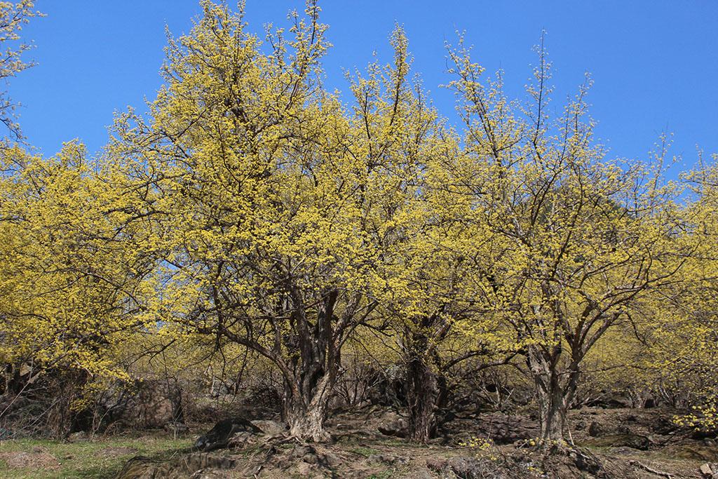 상위마을 산수유 나무