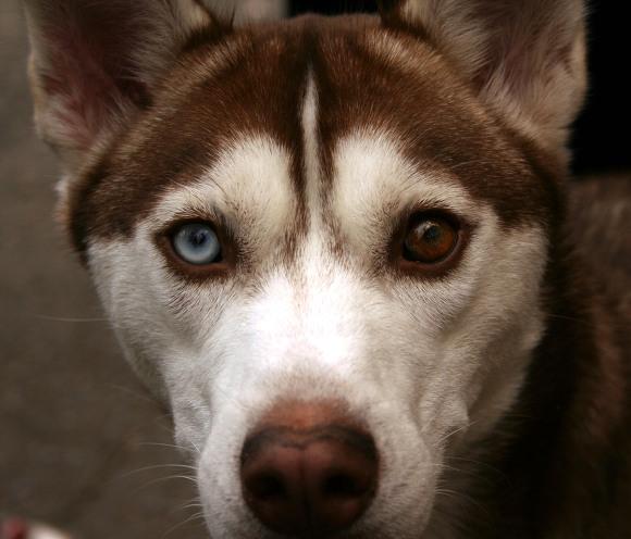Odd Eyes Dog