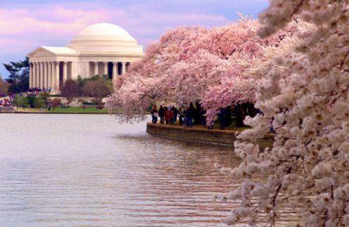 불붙는 한중일 벚꽃 원조 논란, 하지만 진정한 승자는 일본