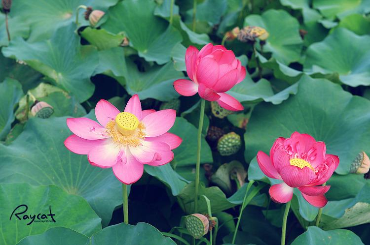 궁남지 연꽃 군락지