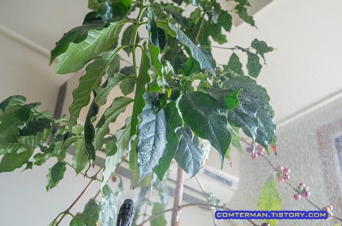 커피나무 엽면시비