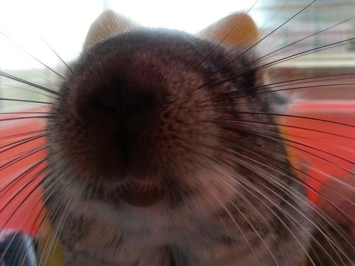 친칠라 쥐