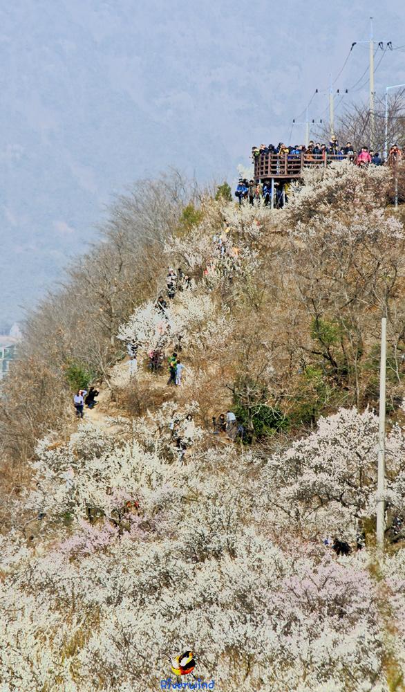 원동 매화(梅花)축제 풍경