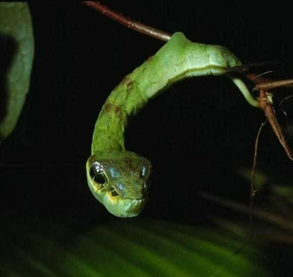 Hemeroplanes caterpillar