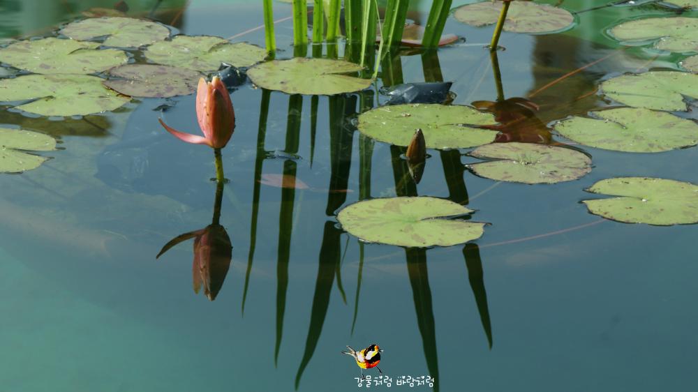 수련(睡蓮,Nymphaea,Water lily)이 주는 메시지