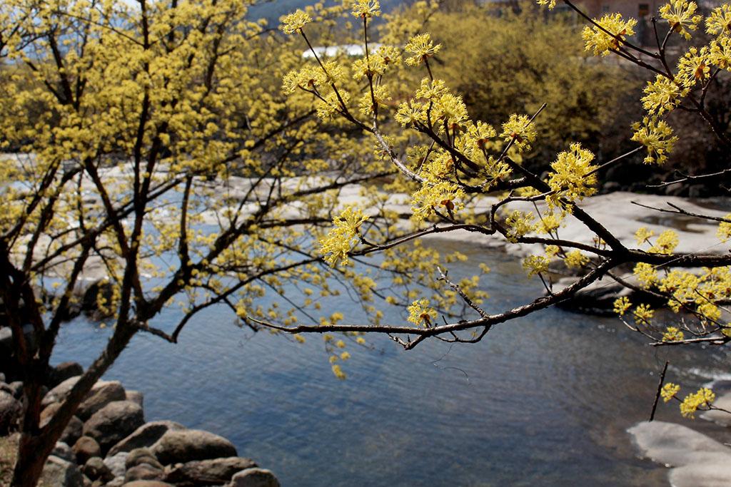 반곡마을 계곡위 산수유꽃