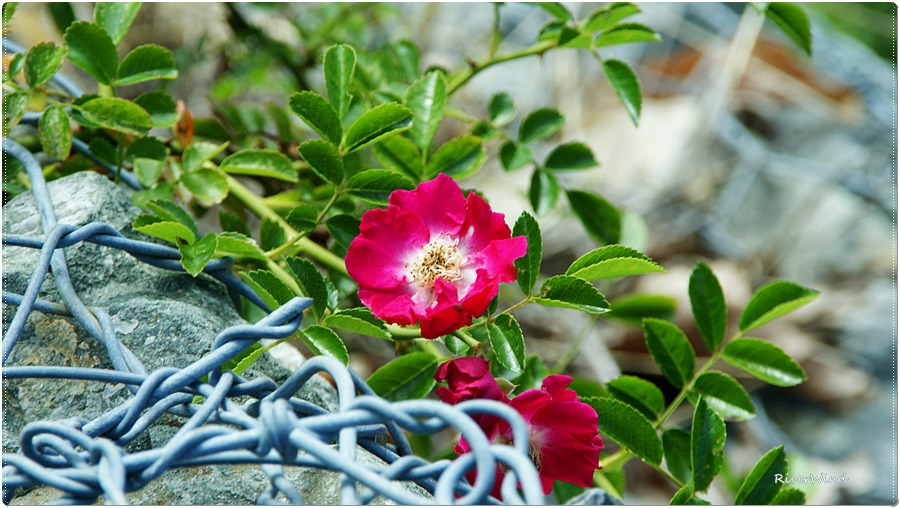 빨간 찔레꽃 Rosa multiflora